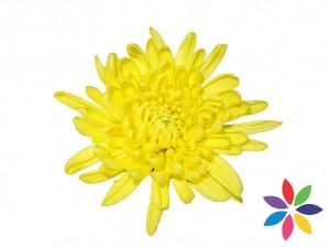 Madura-Yellow