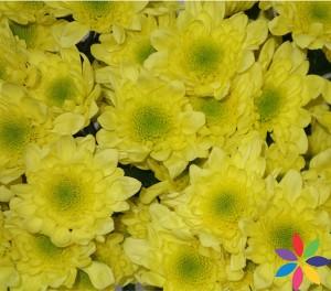 Radost Yellow